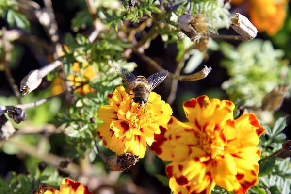 Photograph - Bee by Goyo Ambrosio