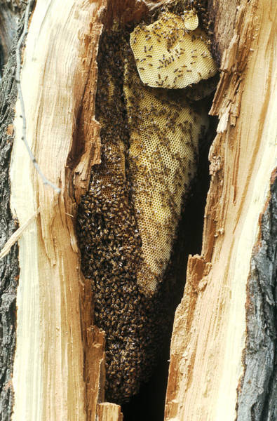 Wall Art - Photograph - Bee Hive In Hollow Tree by Harry Rogers