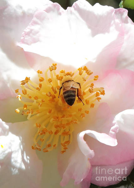 Photograph - Bee In Camellia by Carol Groenen