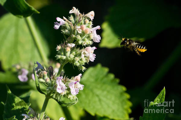 Photograph - Bee In Flight by Ms Judi