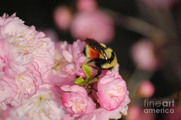 Photograph - Bee In Plum Bloom by Donna L Munro