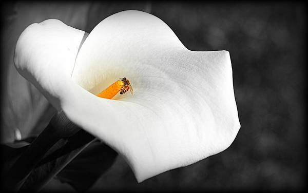 Photograph - Bee In The Calla Flower by AJ  Schibig