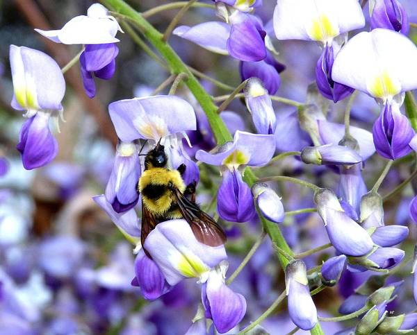 Wisteria Wall Art - Photograph - Bee In The Wisteria by Will Borden