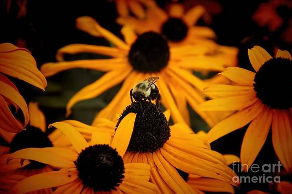 Photograph - Bee On A Daisy by Jim Lepard