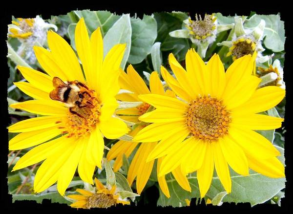 Wall Art - Photograph - Bee On A Wild Sunflower by Will Borden