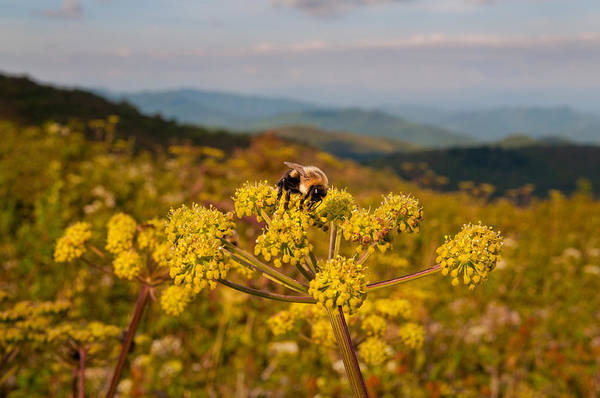 Wall Art - Photograph - Bee On Angelica by Kenneth Murray