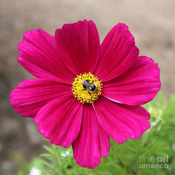 Photograph - Bee On Bright Pink Cosmos by Carol Groenen