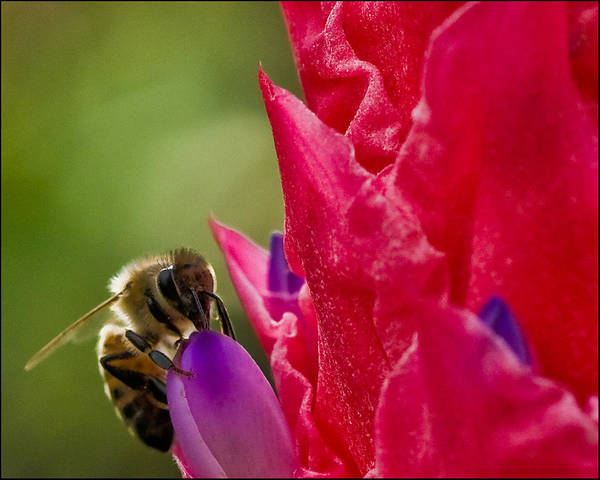 Photograph - Bee On Red Bromeliad Flower by Ginger Wakem