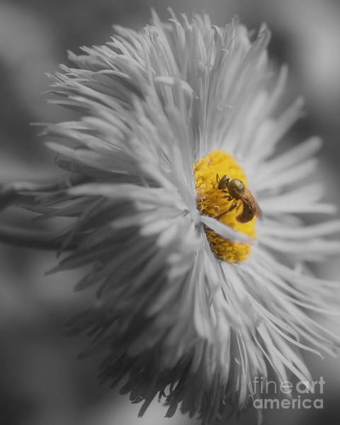 Photograph - Bee On Daisy Flower by Smilin Eyes  Treasures