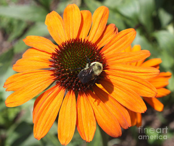 Canon Rebel Photograph - Bee On Flower by John Telfer