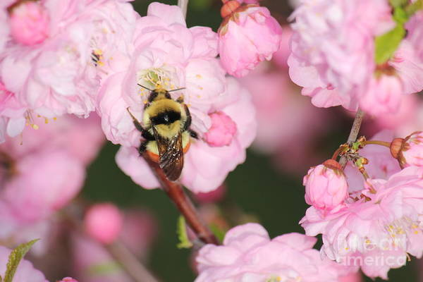 Photograph - Bee On Plum 2 by Donna L Munro
