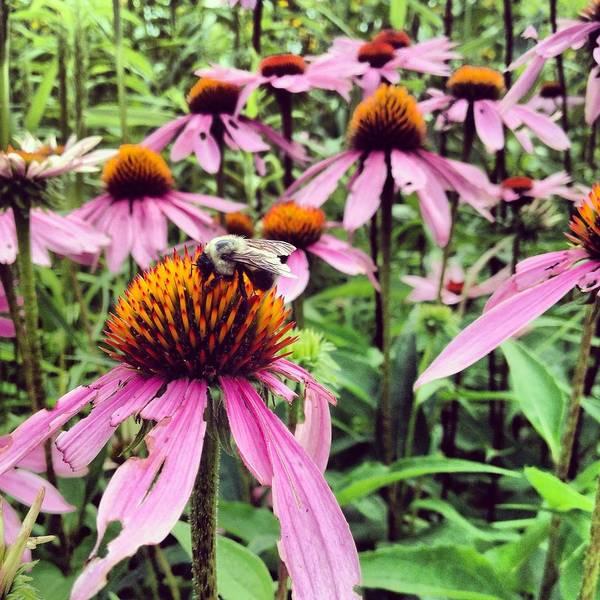 Photograph - Bee On Purple Coneflower by Angela Rath
