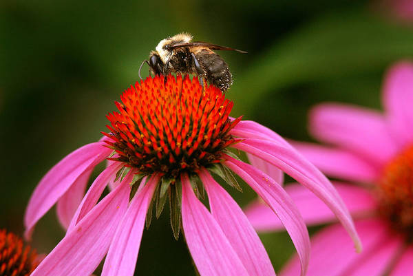 Wall Art - Photograph - Bee On Purple Coneflower by Kenneth Murray