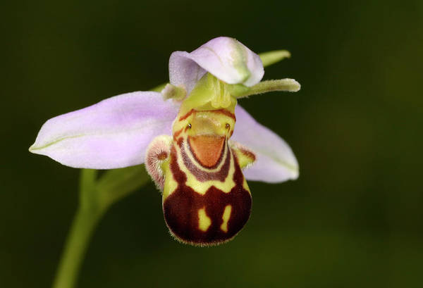 Wall Art - Photograph - Bee Orchid by Nigel Downer/science Photo Library