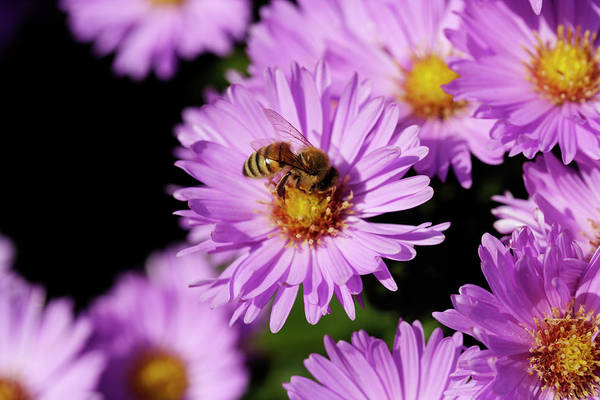 Aster Photograph - Bee Pollinating An Aster Flower by Dan Sams/science Photo Library