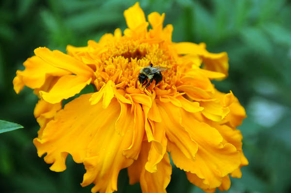 Wall Art - Photograph - Bee Pollinating Marigold by Bonnie Sue Rauch
