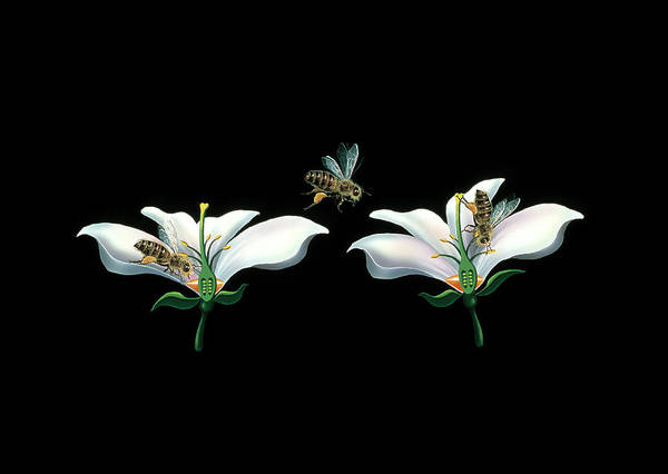 Pollination Photograph - Bee Pollination by Lena Untidt/bonnier Publications/science Photo Library
