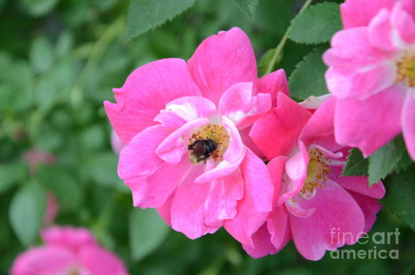 Photograph - Bee Rosy by Laurel Best