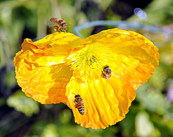 Photograph - Bee Scene by AJ  Schibig