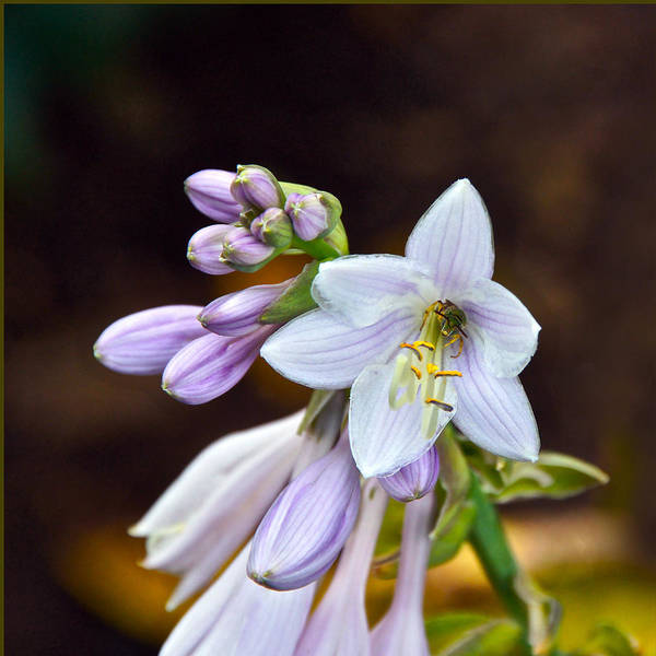 Photograph - Bee Takes Up Residence In A Hosta Flower by Byron Varvarigos