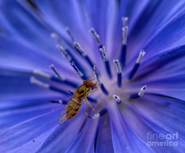 Bee - Wildflower - Chicory Art Print