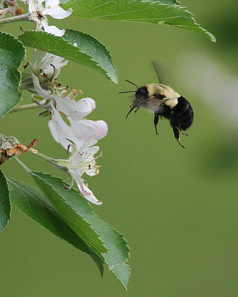 Photograph - Bee With Apple Blossoms by William Selander