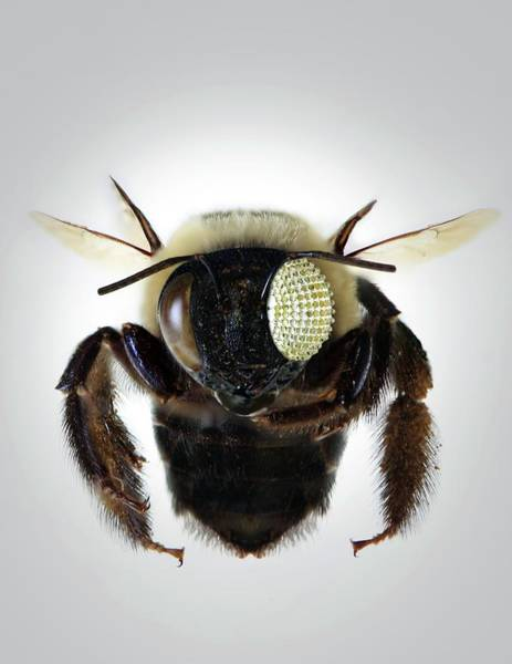 Biomimetics Wall Art - Photograph - Bee With Electronic Compound Eye by Professor John Rogers, University Of Illinois