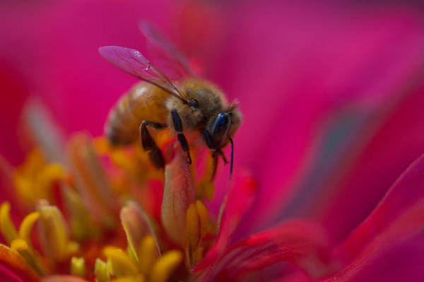 Wall Art - Photograph - Bee Within Flower by Sarah Crites