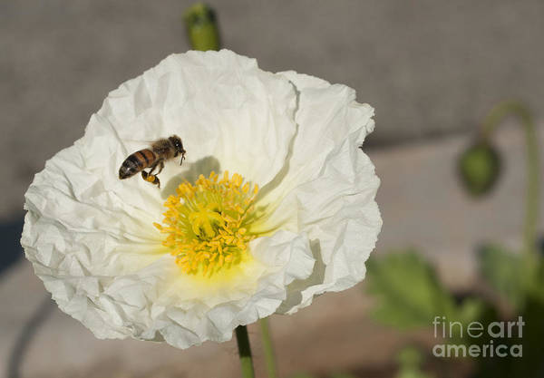 Photograph - Bee Working by M Valeriano