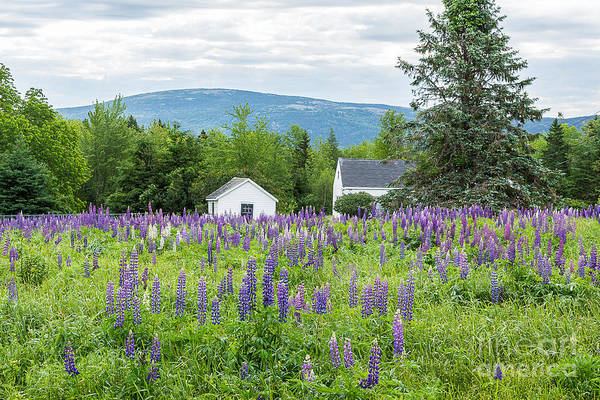 Photograph - Beech Hill Lupines by Susan Cole Kelly