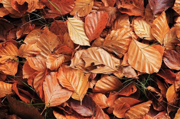 New Leaf Photograph - Beech Leaf Litter by Colin Varndell/science Photo Library