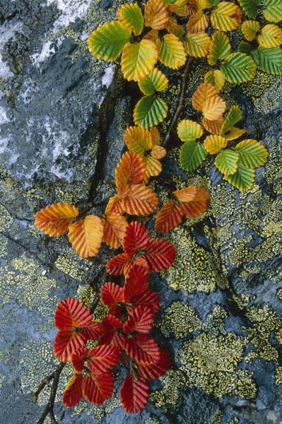 Dixon Photograph - Beech Leaves In Fall Colors Tasmania by Grant  Dixon