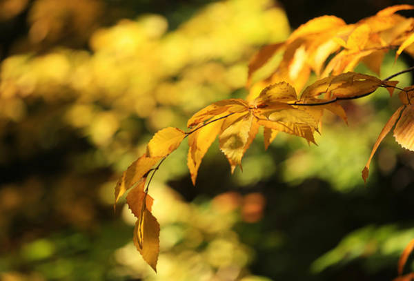 Photograph - Beech Leaves Of Gold by Rachel Cohen