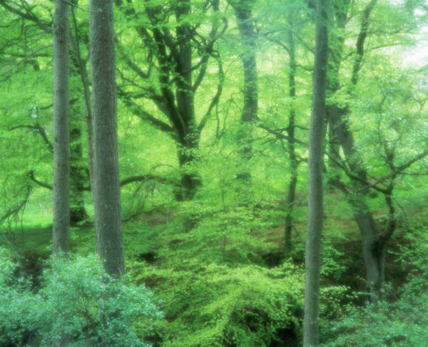 New Leaf Photograph - Beech Woodland by Simon Fraser/science Photo Library