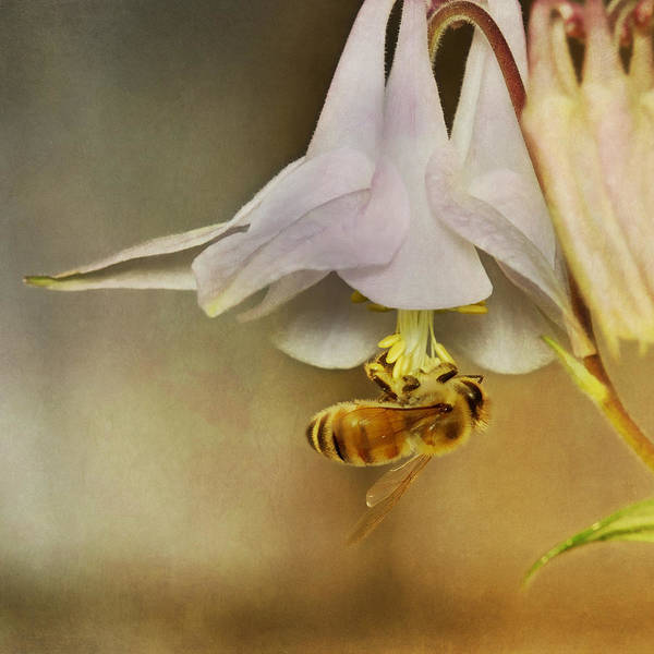 Pollinator Wall Art - Photograph - Beedangled by Susan Capuano