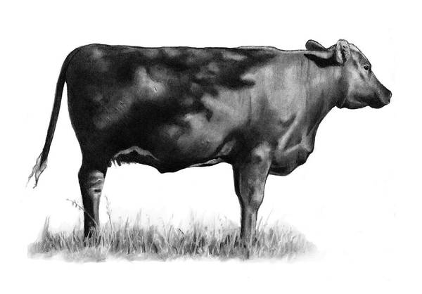 Wall Art - Drawing - Beef Cow In Sun And Shade by Joyce Geleynse