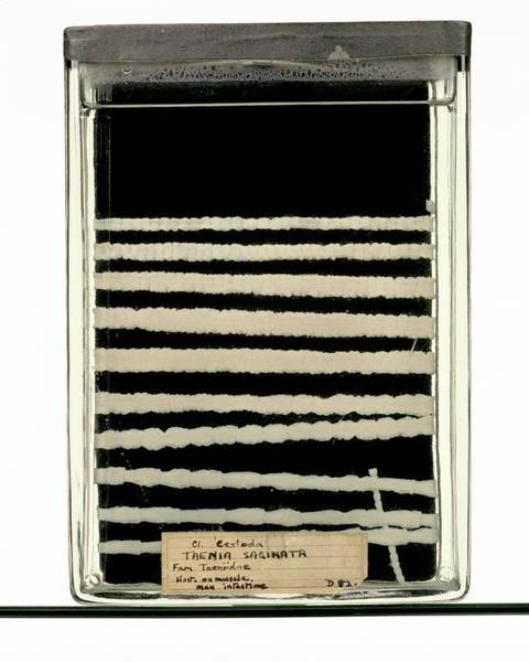 Preservation Photograph - Beef Tapeworm Specimen by Ucl, Grant Museum Of Zoology