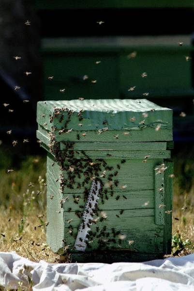Bee Hive Photograph - Beehive by Pascal Broze/reporters/science Photo Library