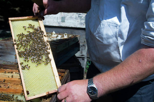 Honeybees Photograph - Beekeeper Holding A Brood Frame by Louise Murray/science Photo Library