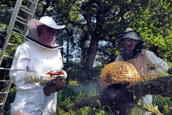 Honeybees Photograph - Beekeepers Collecting Swarming Honeybees by Simon Fraser/science Photo Library