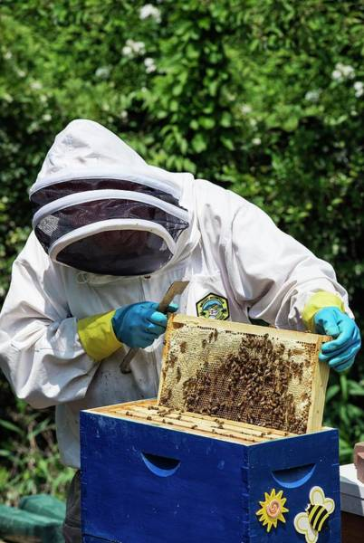 Bee Hive Photograph - Beekeeping by John Greim/science Photo Library