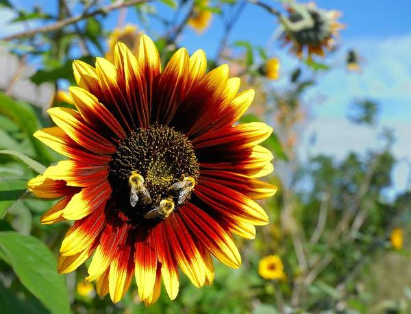 Sunflowers Photograph - Bees At Work by Jim Hughes