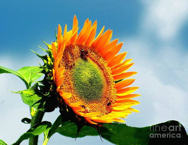 Photograph - Bees On A Sunflower by Nick Zelinsky