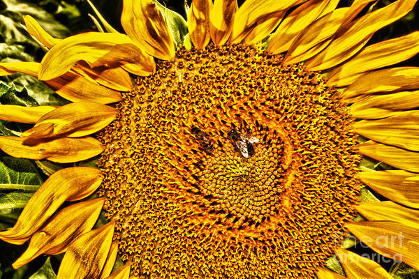 Sunflower Seeds Photograph - Bees On Sunflower Hdr by Robert Frederick