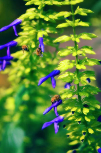 Wall Art - Photograph - Bees Pollinating Sage Flowers by Maria Mosolova/science Photo Library