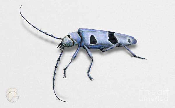 Painting - Beetle Of The Alps - Rosalia Longicorn - Rosalia Alpina - Rosalie Des Alpes - Alpebukk by Urft Valley Art