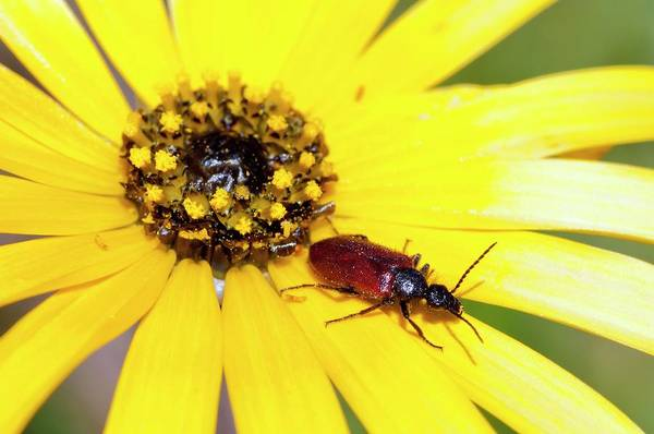 African Daisies Photograph - Beetle On Yellow Daisy Flower by Peter Chadwick/science Photo Library