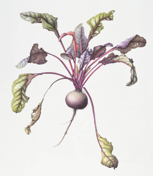Veggies Painting - Beetroot by Margaret Ann Eden