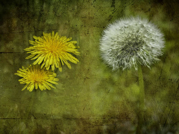 Dandelion Puff Photograph - Before And After Dandelions by Diane Schuster
