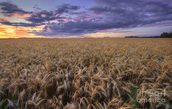 Photograph - Before The Harvest by Dan Jurak